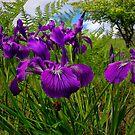 Iris Delight ~ Wild Iris ~ by Charles & Patricia   Harkins ~ Picture Oregon