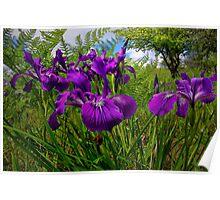 Iris Delight ~ Wild Iris ~ Poster