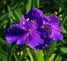 Spiderwort Sweet Kate by JLBphoto