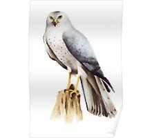 Northern Harrier (Circus cyaneus) Poster