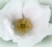 White Beach Rose - Rosa rugosa by MotherNature