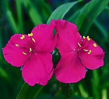 Double Spiderwort by JLBphoto