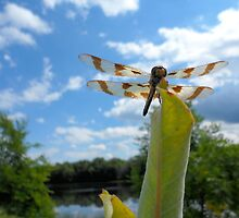 Dragonfly holding on in the breeze. by Barberelli