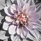 Color-centric Dahlia by Kerry McQuaid