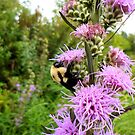 Bumble bee slurping nectar by Barberelli
