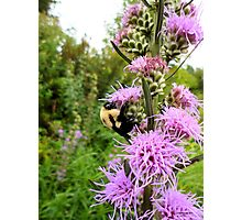 Bumble bee slurping nectar Photographic Print
