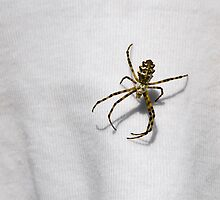 Spider sits on fabric by qiiip
