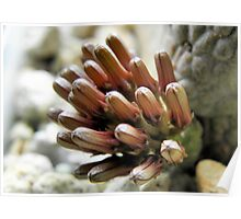 Pseudolithos cubiformis Flowers:  Almost There Poster