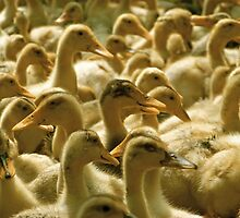 A lot of ducklings by qiiip