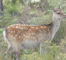 Sika Deer at Arne by MendipBlue