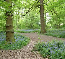 """""""Trail""""  Swithland Woods, Leicestershire by Anita  Fletcher"""