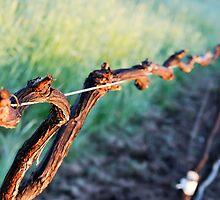 Vine Line - Warrabilla Wines Parola's Vineyard  by Georgina James