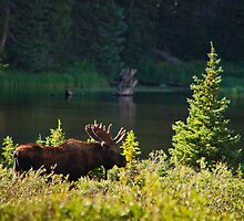 Moose At Brainard by John  De Bord Photography