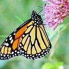 Monarch at Dusk by lorilee