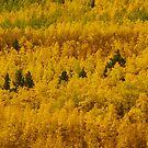 Colorado quaking aspens by Christine Ford