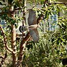 Cooper's Hawk vs. Crow by DARRIN ALDRIDGE