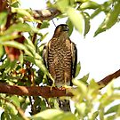Cooper's Hawk Catching A Breath by DARRIN ALDRIDGE