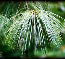 Rain decorated Pine Needles by Bente Andermahr