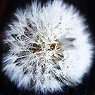 Dandelion by PrettyKitty