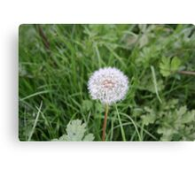 Dandelion With All It Petals On  Canvas Print