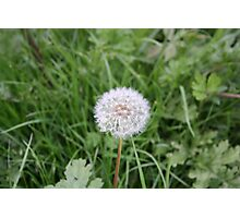 Dandelion With All It Petals On  Photographic Print