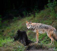 Coyote  by Daniel  Parent