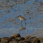 Bar-Tailed Godwit by VoluntaryRanger