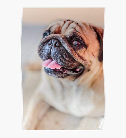 Pug Mops Dog (6815) Poster