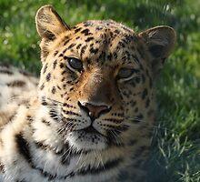 Amir Leopard by dannynic