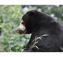 Sleepy Sun Bear. Photographic Print