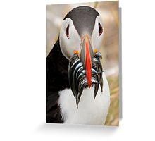 Puffin, Farnes Islands Northumberland. Greeting Card