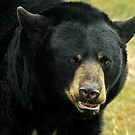 Big Old Black Bear by Mark Hughes