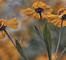 False Sunflower (Helenium) by T.J. Martin