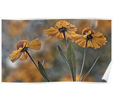 False Sunflower (Helenium) Poster