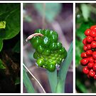 Arisaema triphyllum (Jack-in-the-Pulpit) - Triptychs by jules572