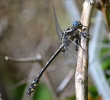 Lancet clubtail making faces by Kate Farkas