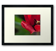 Red in Full Bloom Framed Print