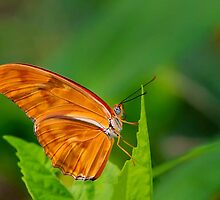 Julia Butterfly by John Absher