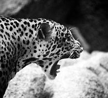 Antagonized Cheetah by Mark Lee
