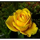 The yellow Rose by Kevin Meldrum