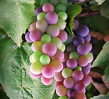 The colours of grape! by rasim1