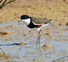 Red-Kneed Dotteral taken on the edge of the Simpson Desert by Alwyn Simple
