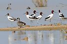 Avocet and a Pink Eared Duck - Simpson Desert by Alwyn Simple