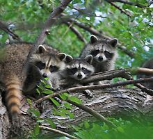 Young Raccoon by wwwildlife