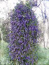 Native Wisteria (Hardenbergia comptoniana) by Elaine Teague