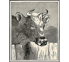 COW BROWN  Photographic Print