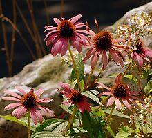 Purple Cone Flower,Echinacea by Mechelep
