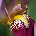 Bearded iris Mary Todd by Joy Watson