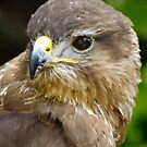 Golden Eagle  by hannahelizabeth
