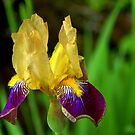 Beautiful Iris by Mechelep